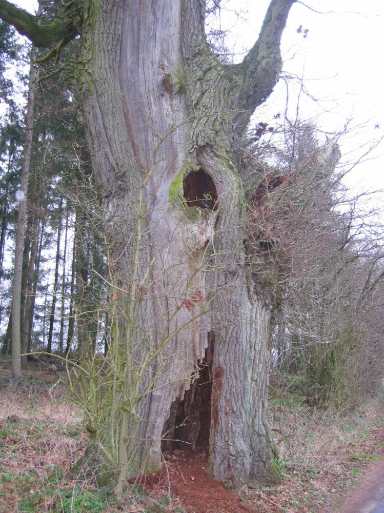 Ein alter Baum, in dem eine Geocache steckt